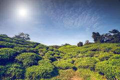 Plantación de té en Malasia Imagen de archivo