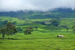 Plantación de té en Pagar Alam Sumatera Indonesia fotos de archivo