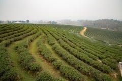Plantación de té en Tailandia norteña fotografía de archivo