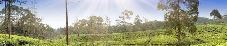 Plantación de té en Wonosobo Indonesia, Java Imagenes de archivo