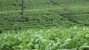 Plantación de té en Wonosobo Indonesia, Java metrajes