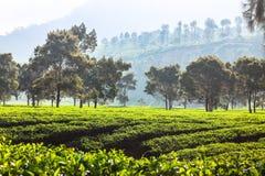 Plantación de té Kertasari en Bandung pangalengan fotografía de archivo