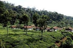 Plantación de té, la India Imagen de archivo libre de regalías