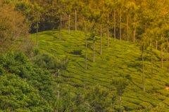 Plantación de té de la montaña Imagenes de archivo