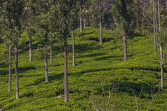 Plantación de té de la montaña Fotos de archivo