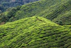 plantación de té, montañas de Cameron, Malasia Foto de archivo libre de regalías