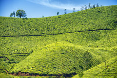 Plantación de té, Munnar, Kerala, la India Foto de archivo