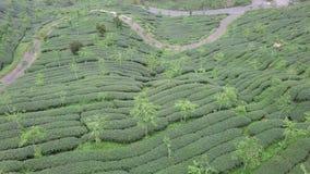Plantación de té de Oolong en área de montañas de Alishan, Taiwán Silueta del hombre de negocios Cowering metrajes