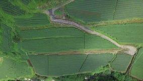 Plantación de té de Oolong en el área de Alishan, Taiwán Silueta del hombre de negocios Cowering metrajes
