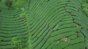 Plantación de té de Oolong en el área de Alishan, Taiwán Silueta del hombre de negocios Cowering almacen de metraje de vídeo