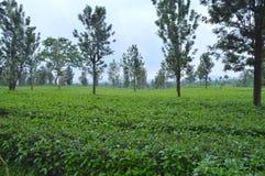 Plantación de té tropical en Subang, Indonesia fotografía de archivo