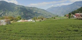 Plantación de té verde Imagen de archivo libre de regalías