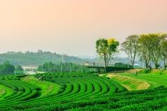 Plantación de té verde fotografía de archivo libre de regalías