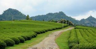 Plantación de té verde imagenes de archivo