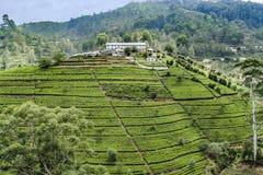 Plantación de té verde en Sri Lanka fotos de archivo