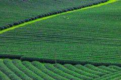 Plantación de té verde fresca hermosa Fotos de archivo libres de regalías