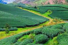 Plantación de té verde fresca hermosa Fotografía de archivo