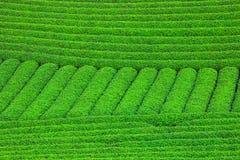 Plantación de té verde fresca hermosa Imagenes de archivo