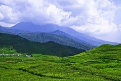 Plantación de tés #1 Fotos de archivo libres de regalías