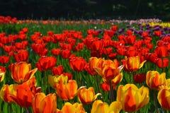 Plantación de tulipanes rojos y anaranjados hermosos en día soleado en primavera Fondo floral fresco con los campos del flor imagenes de archivo