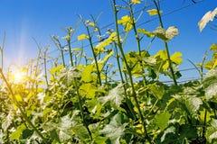 Plantación de un viñedo joven en los rayos del sol de la mañana Foto de archivo libre de regalías