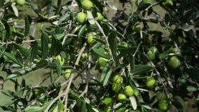 Plantación del árbol de aceitunas Las aceitunas orgánicas crecen en el olivo Agricultura y cultivo verde oliva Producir el aceite metrajes