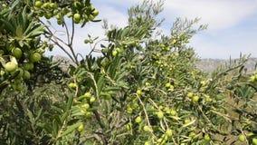 Plantación del árbol de aceitunas Las aceitunas orgánicas crecen en el olivo Agricultura y cultivo verde oliva Producir el aceite almacen de video