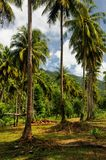 Plantación del árbol de coco en la isla de Koh Chang, Tailandia imagen de archivo libre de regalías