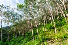Plantación del árbol de goma, usada para producir el látex crudo natural Foto de archivo libre de regalías