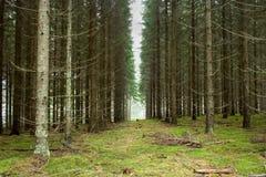 Plantación del árbol de pino fotografía de archivo libre de regalías