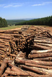 Plantación del árbol de pino Imagen de archivo libre de regalías