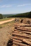 Plantación del árbol de pino Imagenes de archivo