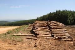 Plantación del árbol de pino Foto de archivo