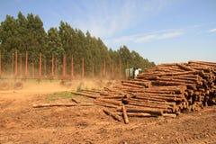 Plantación del árbol de pino Imágenes de archivo libres de regalías