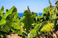 Plantación del árbol de plátano con los plátanos maduros Imágenes de archivo libres de regalías