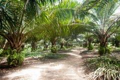 Plantación del aceite de palma foto de archivo