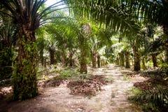 Plantación del aceite de palma foto de archivo libre de regalías
