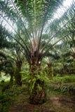 Plantación del aceite de palma imagen de archivo libre de regalías