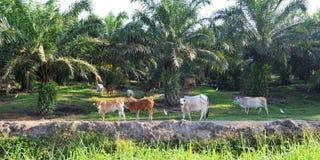 Plantación del aceite de palma Fotos de archivo