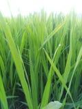 Plantación del arroz Imagen de archivo libre de regalías