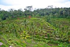 Plantación del arroz Fotos de archivo