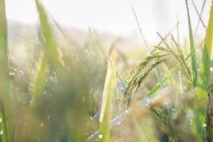 Plantación del arroz Fotos de archivo libres de regalías
