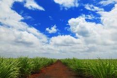 Plantación del azúcar Fotos de archivo libres de regalías