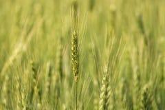 Plantación del campo de trigo Fotografía de archivo libre de regalías