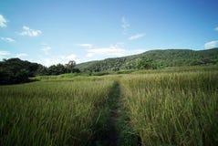 Plantación del campo del arroz fotos de archivo