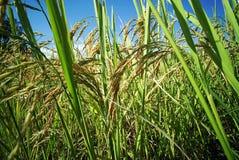 Plantación del campo del arroz fotografía de archivo