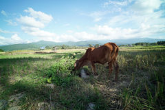 Plantación del campo del arroz fotos de archivo libres de regalías
