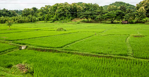 Plantación del campo del arroz, Chiang Mai Imagen de archivo libre de regalías