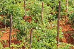 Plantación del campo del tomate fotos de archivo