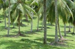 Plantación del coco Imagen de archivo libre de regalías